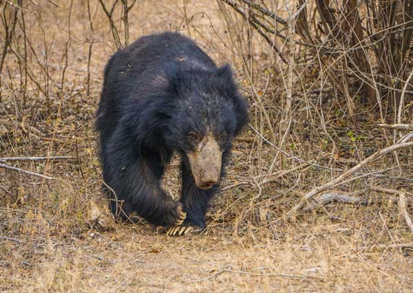 Sloth bears in Sri Lanka