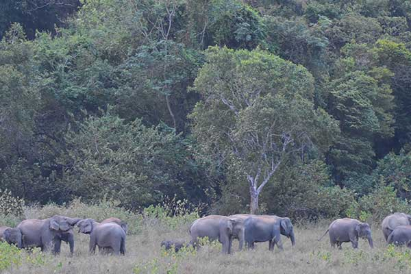 Elephant gathering at Minnerya, Sri Lanka