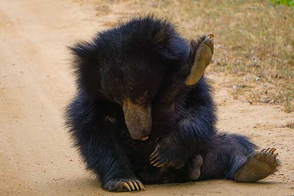 Sloth bear at wilpattu national park Sri Lanka